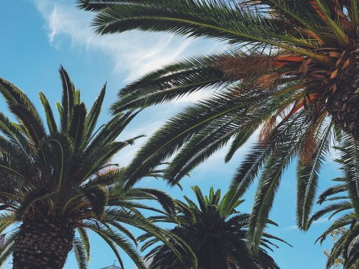 Palm trees.