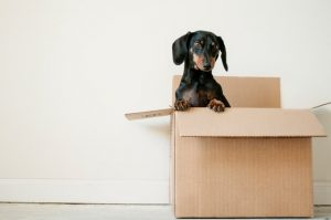 A dog in a moving box ready to be moving in Kuwait