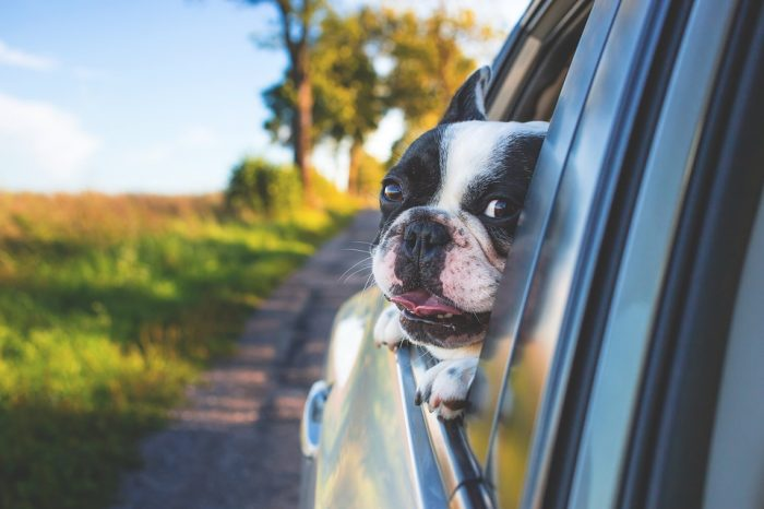 A dog looking through the widow of a car during a downsize move with pets.