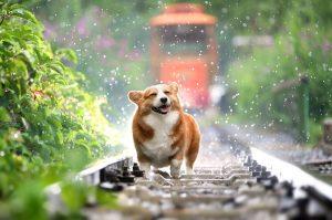 A dog walking down the railway.