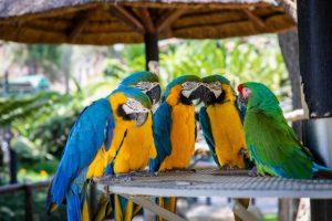 Three parrots.
